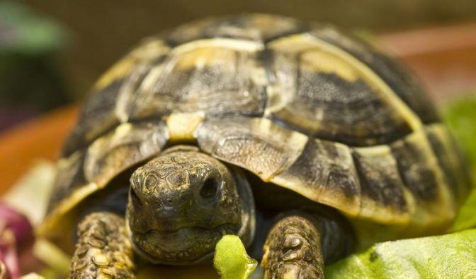 Zurück aus der Winterstarre: Schildkröten an Wärme gewöhnen (Foto)