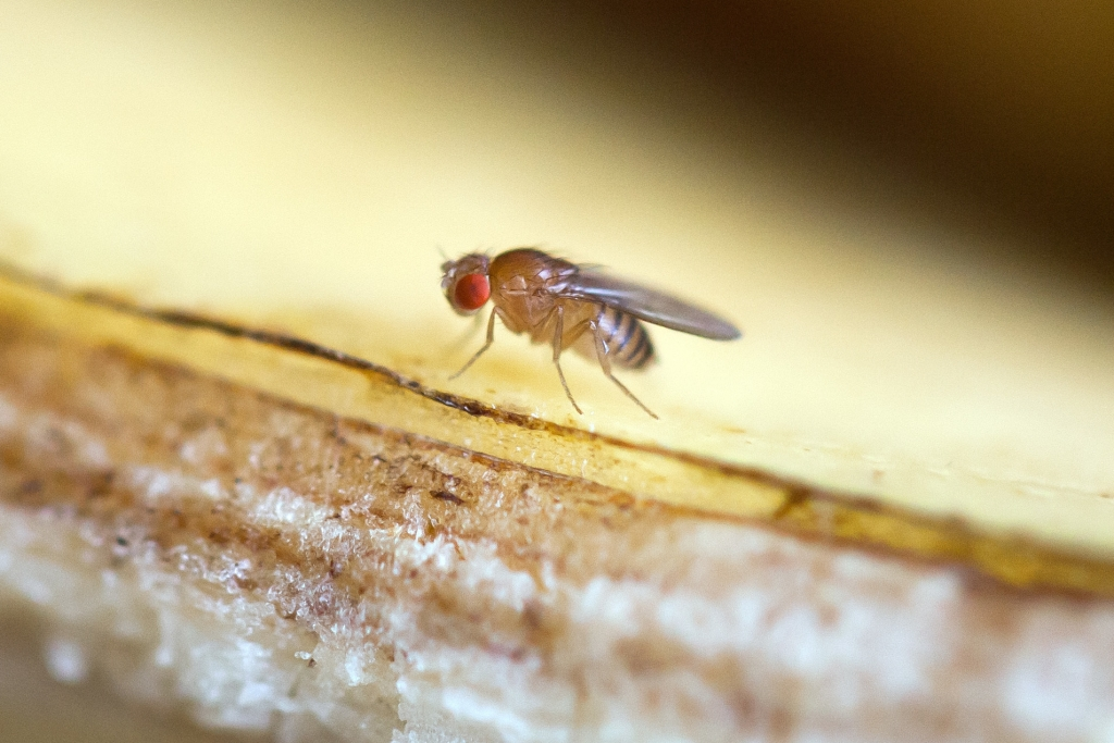 Fruchtfliegen beseitigen tipps und hausmittel so werden for Fruchtfliegen pflanzen