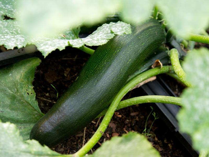 freizeit zucchini pflanzen kommen im juni ins freie. Black Bedroom Furniture Sets. Home Design Ideas