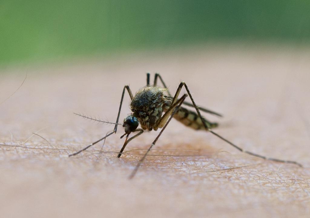 Die gefährlichsten Krankheiten, die Mücken übertragen