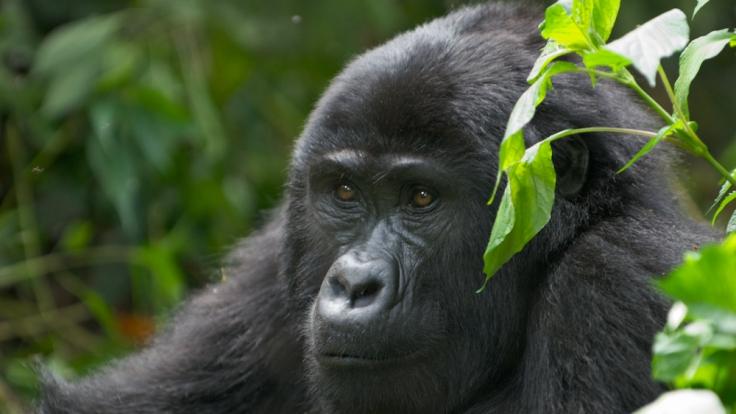 Der Berggorilla ist vom Aussterben bedroht. (Foto)