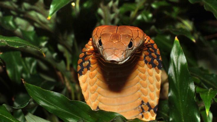Sind Menschen auch bald so giftig wie diese Königskobra (Ophiophagus Hannah)? (Foto)