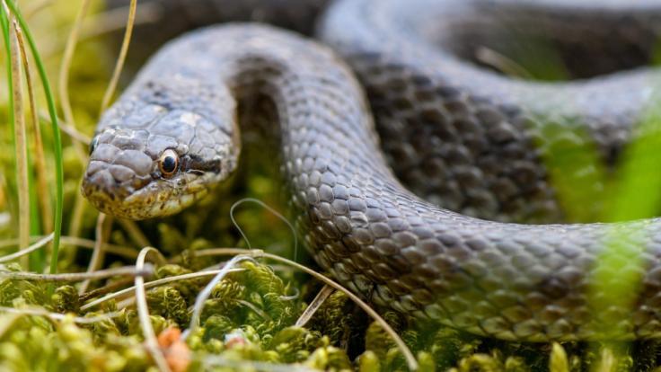 Einer Russin musste eine Schlange aus dem Hals entfernt werden. (Foto)