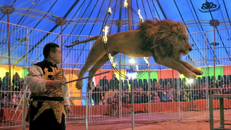In der Ukraine attackierte ein Löwe seinen Dompteur vor Publikum. (Foto)