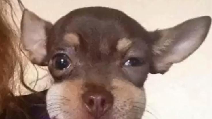 Dieser Chihuahua hat den perfekten Ausgleich für seine riesigen Ohren gefunden. (Foto)