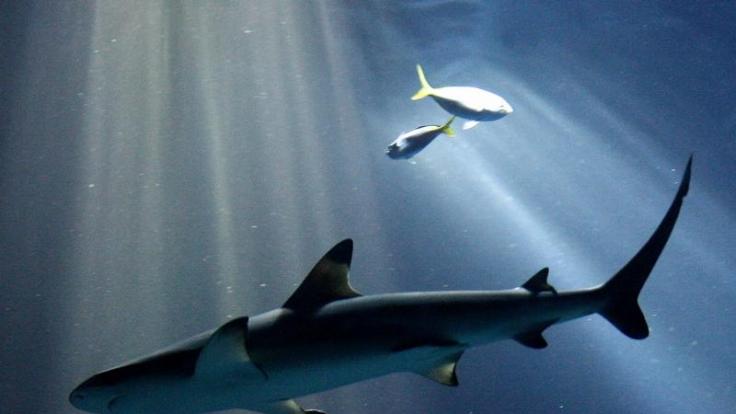Riffhaie sind für die Jagd im flachen Gewässer bekannt. (Foto)