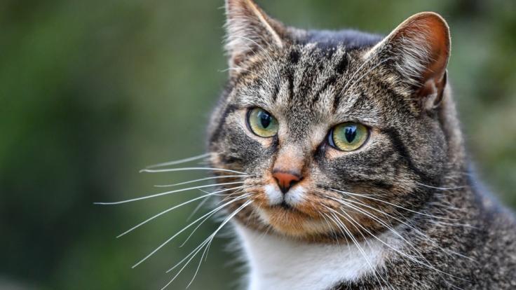 Ein Tier-Hasser hat eine Katze geköpft. (Foto)