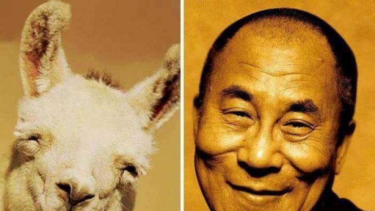 Auch der Dalai Lama hat einen tierischen Verwandten. (Foto)