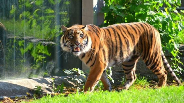 Einer der beiden Sumatra-Tiger im Breslauer Zoo hat bei Reinigungsarbeiten einen Tierpfleger zerfleischt.
