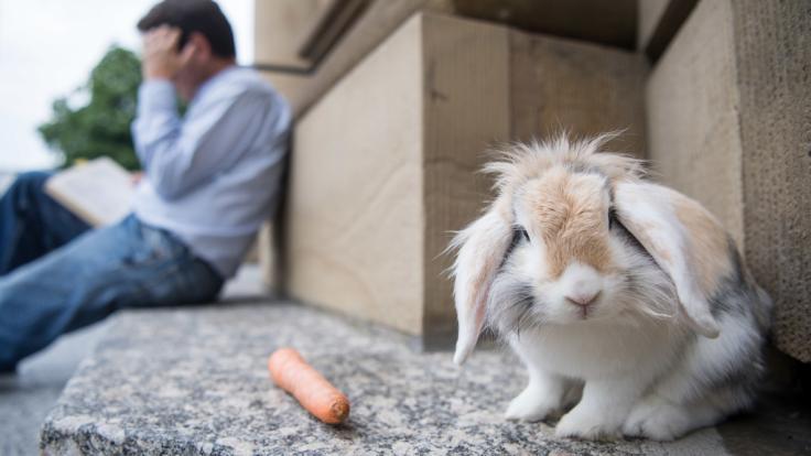 Während sein Besitzer liest, sitzt Kaninchen Oliver auf den Stufen der Oper oder zwischen den Säulen.
