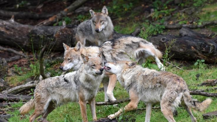 Schon Romulus und Remus sollen von einer Wölfin aufgezogen worden sein, bevor sie Rom gründeten.