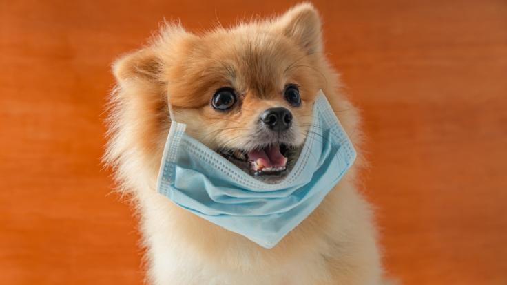 Ein mit dem Coronavirus infizierter Hund aus Hongkong ist gestorben. (Foto)