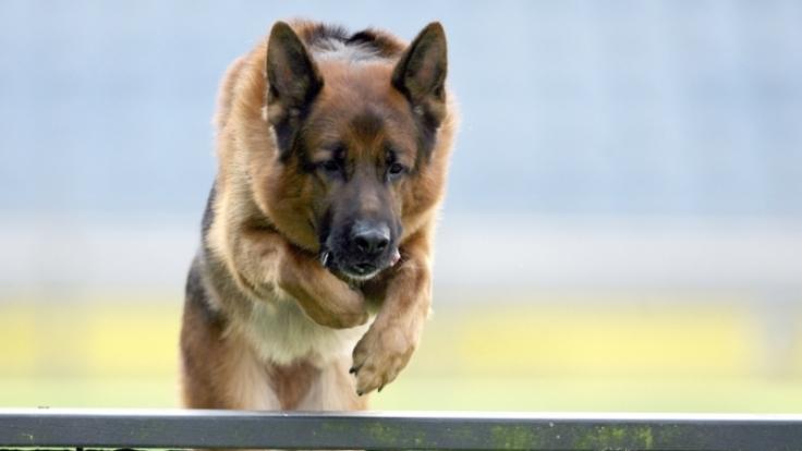 Deutscher Schäferhund im Sprung: Deutsche Befehle klingen härter.  (Foto)