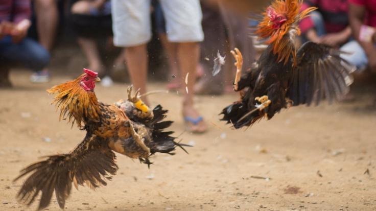 In Indien endete ein Hahnenkampf für einen Vogelbesitzer tödlich.