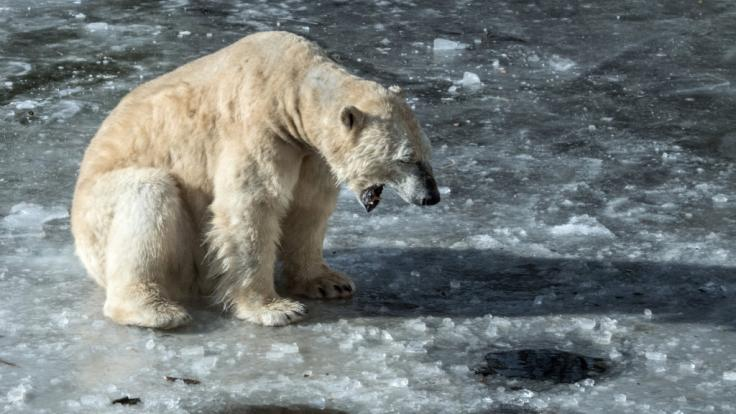 Eisbärin Tonja bekam eine willkommene Abkühlung.