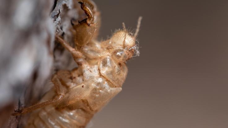 Millionen Zikaden warten laut Wissenschaftlern darauf, ihre unterirdischen Nester zu verlassen. (Foto)