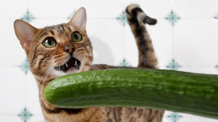 Katzen vs. Gurken: Woher kommt die Angst vor dem Gemüse? (Foto)