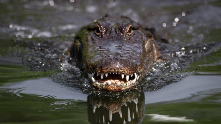 Packende Aufnahmen aus Südafrika: Ein riesiges Krokodil verschlingt einen Hai. (Foto)