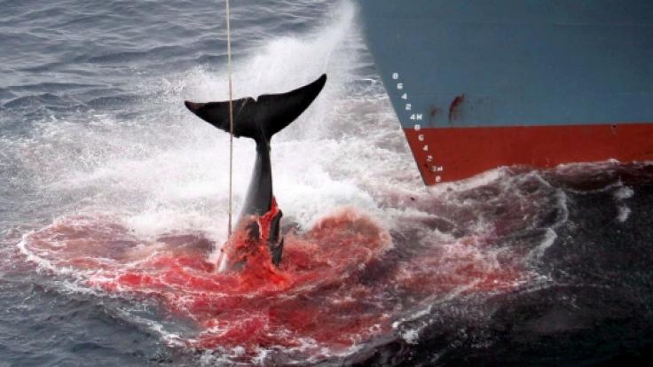 Walfang in Japan. So grausam sterben die Ozeanriesen.