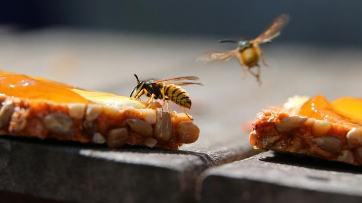 Eine Wespe sitzt auf einem mit Butter und Marmelade bestrichenen Vollkornbrot. (Foto)