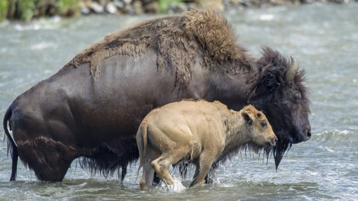 Yellowstone - Park der Extreme bei Arte (Foto)