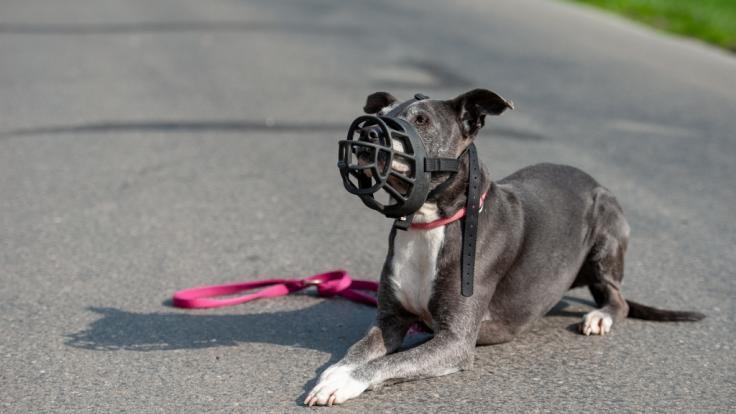 DerAmerican Staffordshire Terrier gilt in Deutschland als Kampfhund mit schwierigem Gemüt. (Symbolbild)