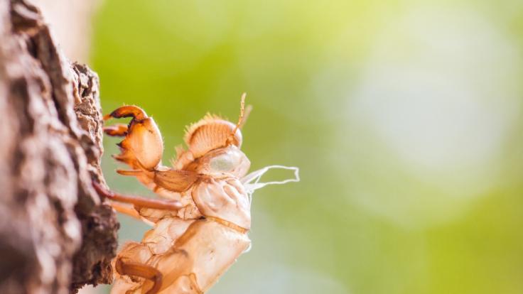 Milliarden Zikaden warten laut Wissenschaftlern darauf, ihre unterirdischen Nester zu verlassen. (Foto)