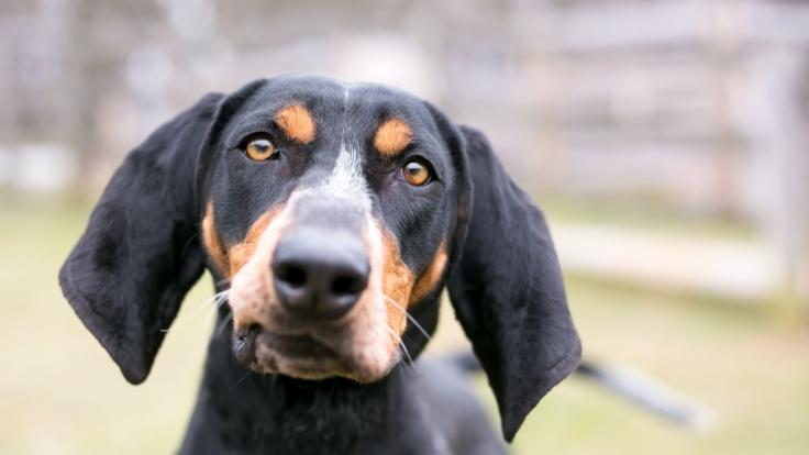 In den USA haben zwei Coonhounds offenbar ihre Besitzerin zu Tode gebissen.