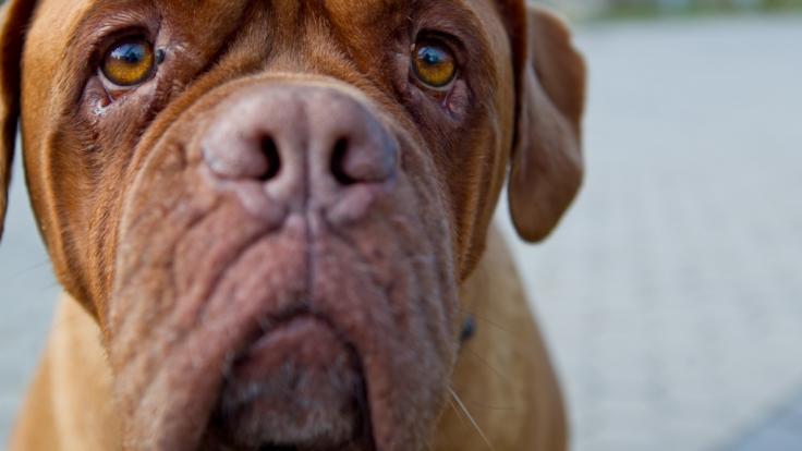 Zwei Doggen zerfleischten in Madrid zwei Frauen. (Foto)
