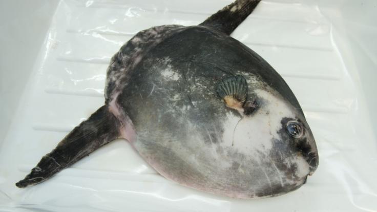 Mondfische kommen auch im Mittelmeer und in der Nordsee vor.