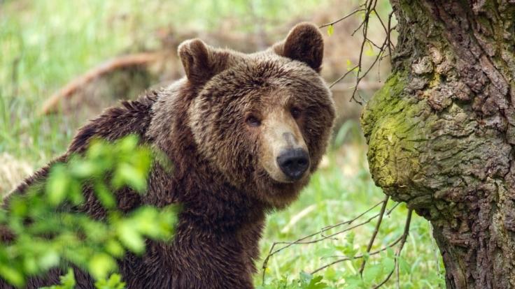 Braunbären sind in der Republik Sacha unterwegs, wo die kleine Karina elf Tage lang allein umherzog.