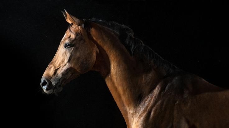 Vergewaltigung an einem Pferd: Genau das soll jetzt in Südhessen passiert sein (Symbolbild). (Foto)