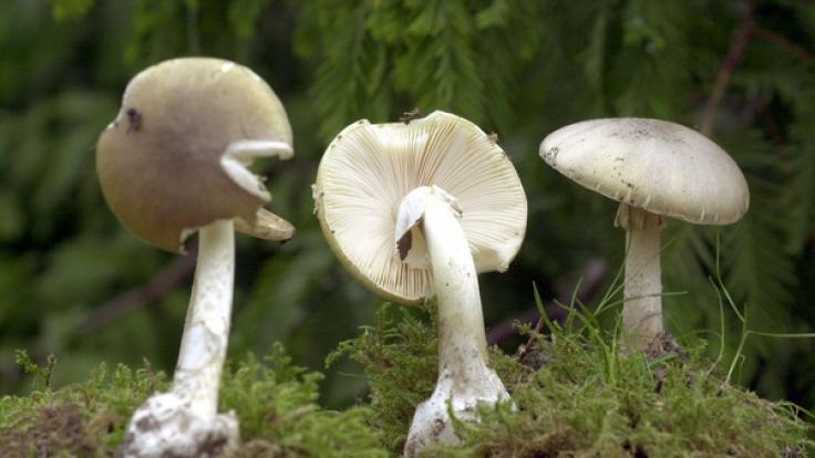 Der Grüne Knollenblätterpilz sorgt immer wieder für schwere Vergiftungserscheinungen. (Foto)