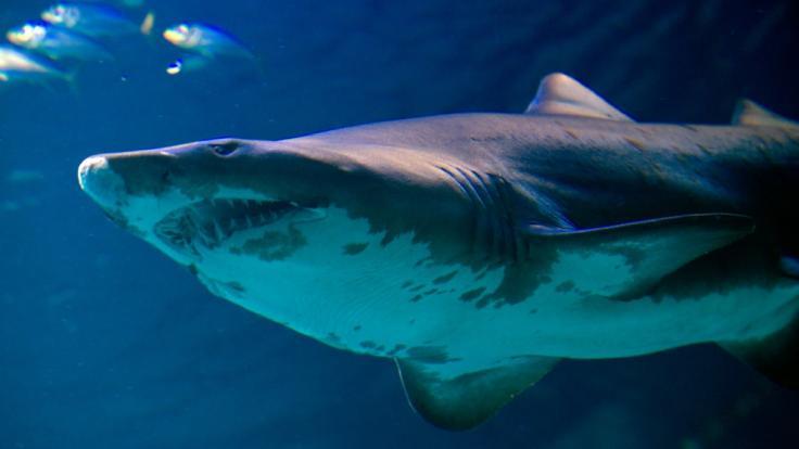 Ein Hai hat zwei Touristen in Australien angegriffen. (Foto)