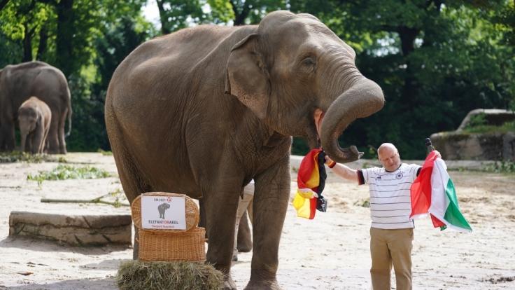 Elefantendame Yashoda hat sich entschieden: Das EM-Spiel Deutschland gegen Ungarn wird unentschieden ausgehen. (Foto)