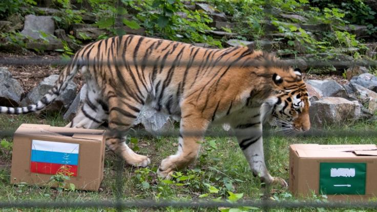 Der sibirische Tiger Wolodja soll im Tierpark Chemnitz dasEröffnungsspiel der Fußball-Weltmeisterschaft zwischen Saudi-Arabien und Russland tippen. (Foto)