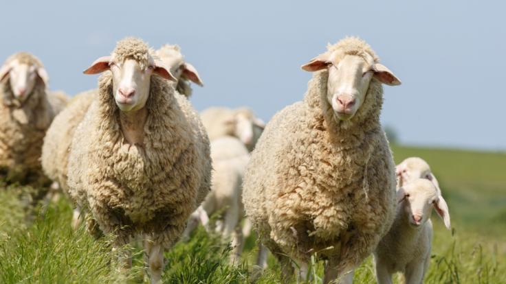 Droht in diesem Jahr die Schafskälte?