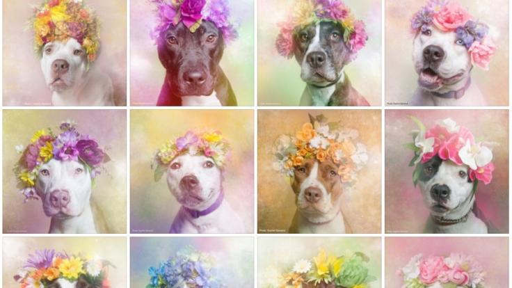 #PitBullFlowerPower: Wer kann diesen Hundeaugen schon widerstehen? (Foto)
