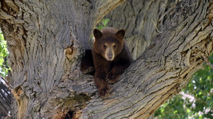 Eine Camperin ist in Alaska bei einer Pinkelpause von einem Bären angegriffen worden (Symbolbild). (Foto)