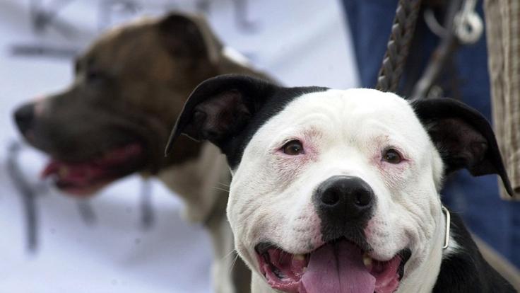 In Australien soll eine Frau mindestens drei Mal Sex mit einem Pitbull Terrier gehabt haben (Symbolbild). (Foto)