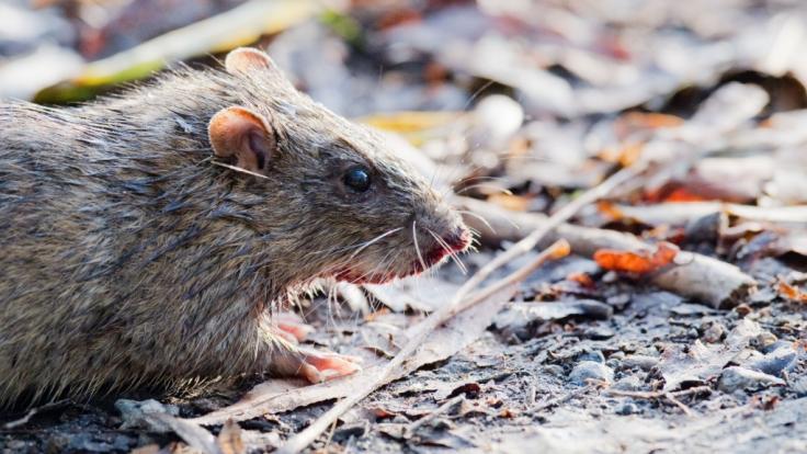 Steht der britischen Metropole London eine massive Rattenplage bevor? (Foto)