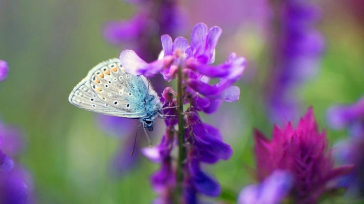 Wildes Deutschland - Unsere Schmetterlinge bei Arte (Foto)