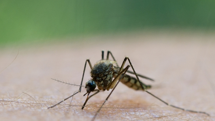 Nur ein kleiner Stich der Mücke genügt, um gefährliche Krankheiten zu übertragen. (Foto)