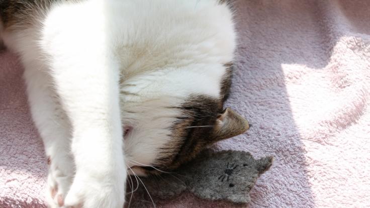 Das geb ich nicht mehr her! Testkatze Holly ist ganz vernarrt in das duftende Catlabs-Spielzeug. (Foto)
