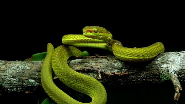 Forscher haben eine Schlangenart nach der Harry Potter-Figur Salazar Slytherin benannt. (Foto)