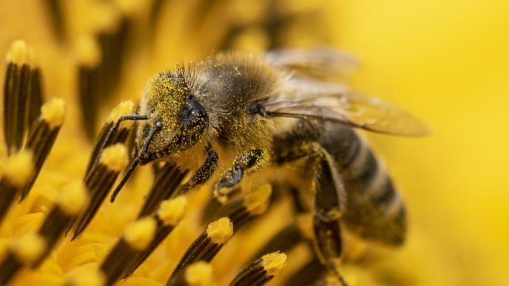 So unterscheiden Sie Bienen, Wespen, Hornissen und Co. (Symbolfoto) (Foto)
