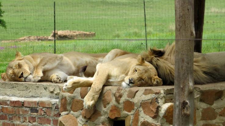 Löwenfarmen in Südafrika. (Foto)