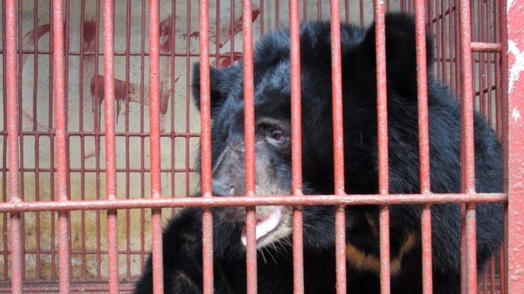 Ein geretteter Mondbär sitzt am 29.11.2011 in einem Käfig. 14 Mondbären wurden damals aus der Gefangenschaft befreit. (Foto)