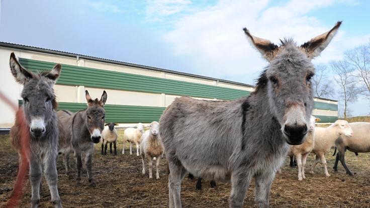 In den USA soll ein junger Farmmitarbeiter Sex mit einem Esel gehabt haben (Symbolbild).