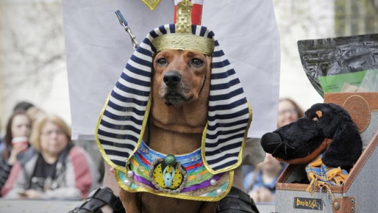 Bei der jährlich staffindenden Dackelparade in St. Petersburg waren auch in diesem Jahr wieder zahlreiche verkleidete Vierbeiner zu bestaunen. (Foto)